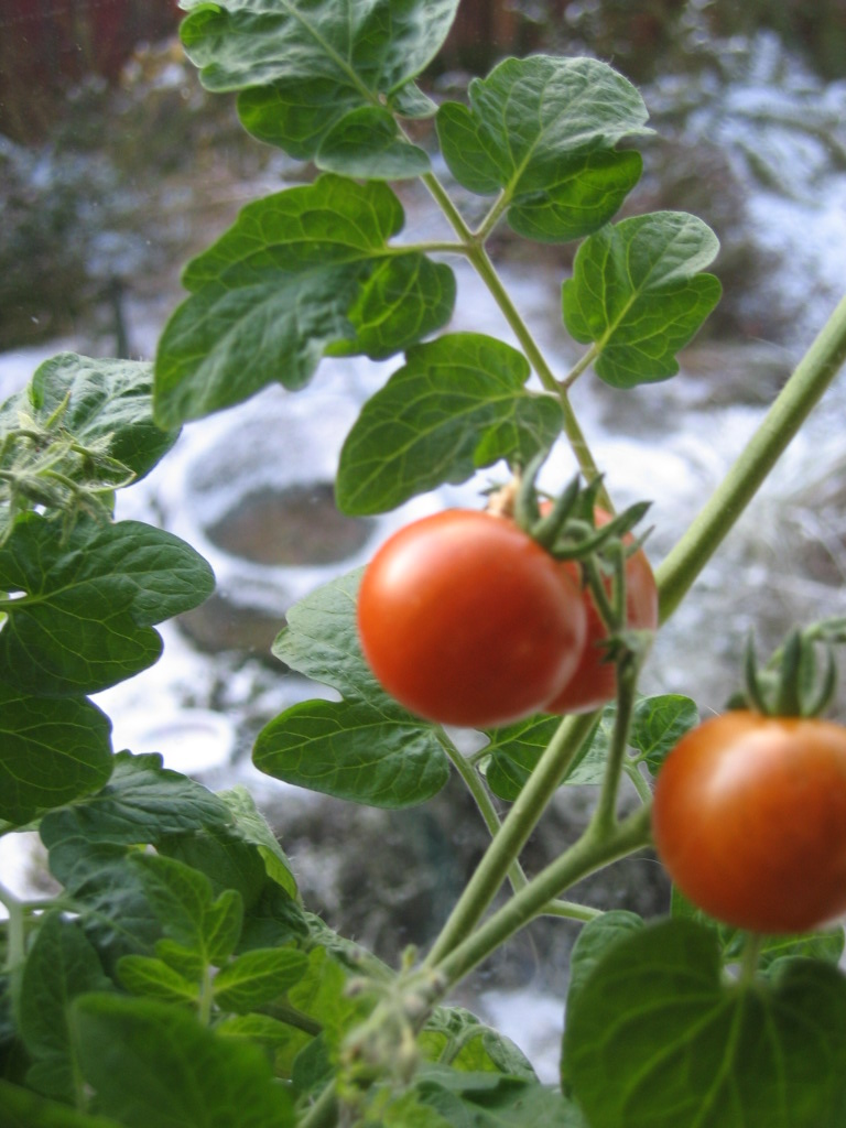 Tomatoes in January