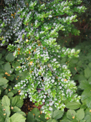 azara_microphylla_haglund_1.jpg