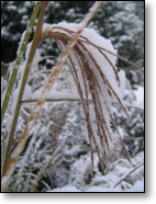 Miscanthus Seed Head Adorned with First Snow