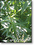 Lemon Verbena in the Garden