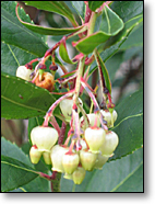 Arbutus unedo Blooming in November