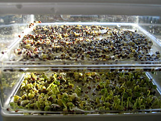 Day Five: Sprouts Beginning to Look Tasty!