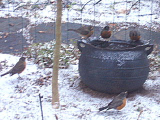 Robins Drinking & Bathing