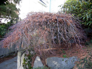 How to prune Japanese Maple trees: