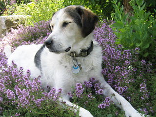 Thyme is a lovely, dog-friendly lawn alternative