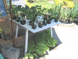 Curbits, Lettuce & Brassica Free to a Good Home!