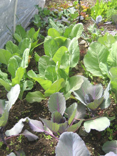Maturing Cabbage, Cauliflower & More Planted in March