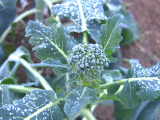 Frosty Broccoli in the Hoop House