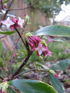Winter Daphne Blooming in Seattle Welcomed Me Home