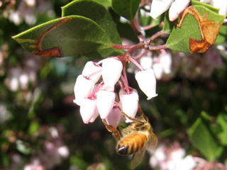 Honey bees have decided Manzanita is a Favorite Meal