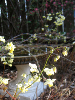 Epimedium with Ribes sanguineum in the background