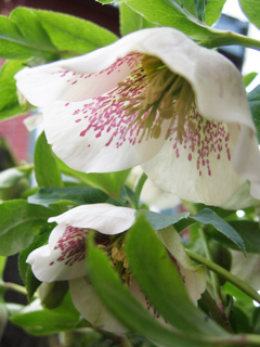 Helleborus: How I wish you were less shy and would face up toward the sky!