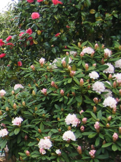 Camellia japonica behind First-Blooming Rhodie