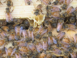Busy, Active Honey Bee Hive