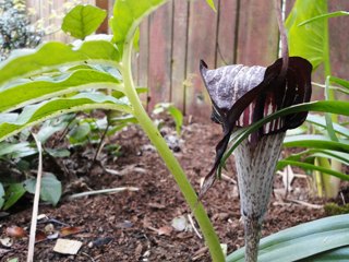 Arisaema species - A New Edition the Grower Claims is from Heronswood