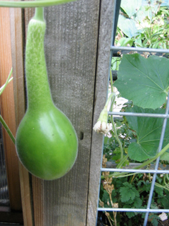 Birdhouse Gourd Forming on the Vine