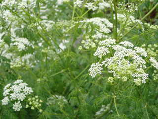 Poison Hemlock Flower and Foliage on Phinney Ridge
