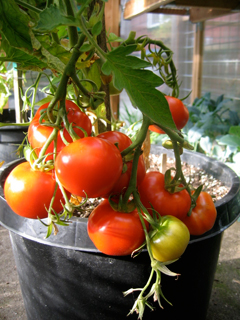 Container Grown Oregon Springs Tomato