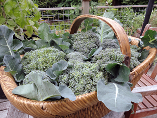 A Basketful of Fresh Broccoli from the Garden
