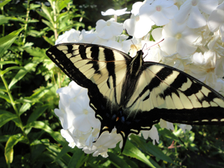 Swallow Tail Butterfly Loves Fragrant White Garden Phlox