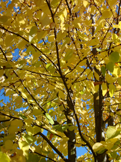 Brilliant, Fragrant Cercidiphyllum japonicum in Fall
