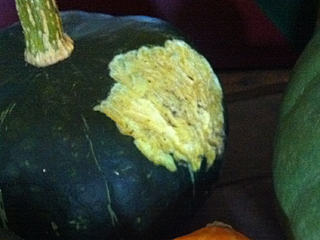 Rodent Gnawed Bitterroot Buttercup Squash