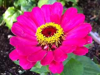 Zinnias are still pushing out Bee-feeding Flowers