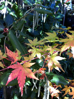 Garrya prepares to bloom in Winter as Japanese Maple Goes Dormant 'til Spring