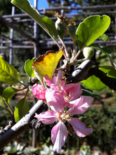 Apples Blooming at the Getty Villa as my Seattle Garden Froze