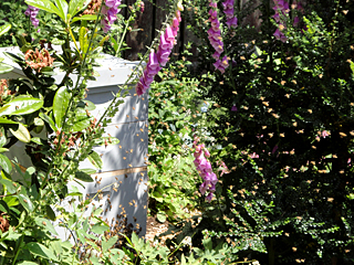 Foxglove Blooming All Around the Honeybee Hive as a Swarm Begins to form