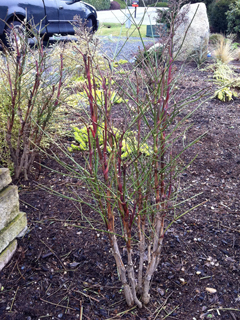Nandina defoliated &amp; Undead 'Til Spring
