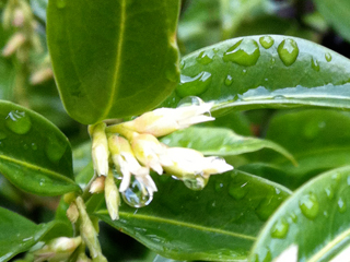 Sarcococca provides Glossy Evergreen Leaves & Powerfully Fragrant Tiny White Blooms in January