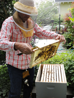 Corky Luster of Ballard Bee Company Working in an Urban Honeybee Hive