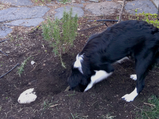 Digging Dog - Bad or Just Doing Her Thing?