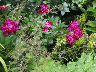 Peonies interplanted with Sarcococca, Viburnum, Mums & Sedum