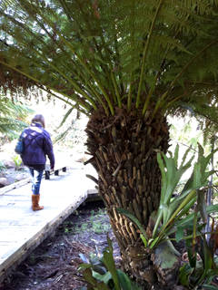 Staghorn Ferns on Tree Ferns in California in January - Don't try this in Seattle!