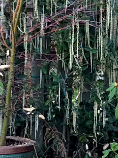 Garrya elliptica blooming beautifully in winter