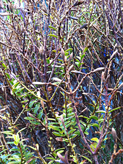 Hebe buxifolia heavily defoliated from winter freezes (can be sheared hard to rejuvenate)