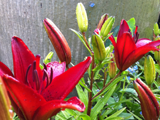 Red Lilies Just Opened Today!