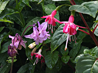 Naturalized Columbine intermingles late this year with Hardy Fuchsia