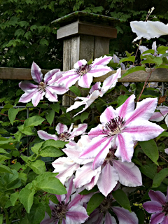 Whoa Nellie - This Clematis Just Blooms & Blooms!
