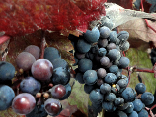 Vitis Grape
