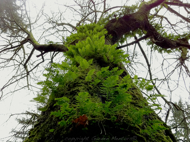 Ferns & Moss on Tree in Discovery Park - January 2012