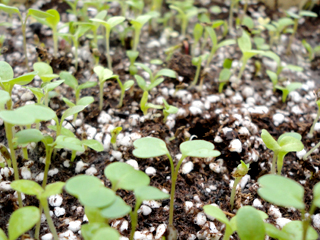 Edible Seedling Growing Strong in February