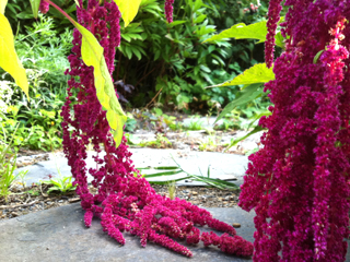 love lies bleeding grown from seed