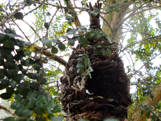 Birdhouse in an evergreen Azara out the Kitchen Window