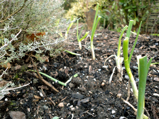 Young Onion Starts Beside Lime Thyme