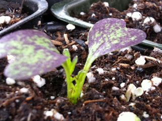 Ruby Streaks Mustard Cotyledons &amp; Tiny True Leaves
