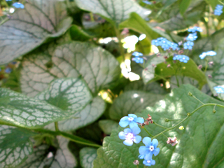 Jack Frost Brunnera in Dappled Shade