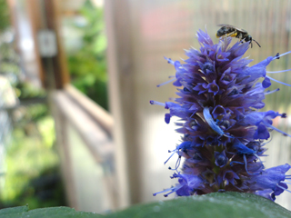 Agastache Luring Pollinators to Greenhouse